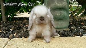 P/bred Mini Lop Seal Point Buck - ready soon Gawler Gawler Area Preview