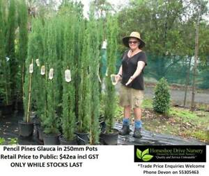 KING OF CONIFERS - Pencil Pines, Spartans, Leighton Greens, Trees Mudgeeraba Gold Coast South Preview