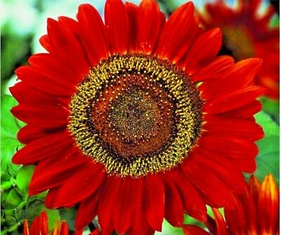 "50+RED SUN SUNFLOWER Seeds Long Bloomer 5-6"" Cut Flowers Butterflies Bees Birds"