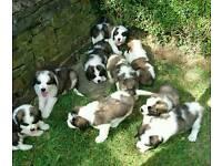 READY NOW kc registered st bernard puppies