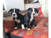 HAD BOTH NEEDLES READY TO GO Old tyme english bulldogs