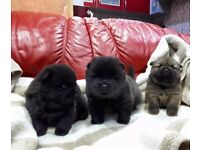 Chiw chow puppies sold!