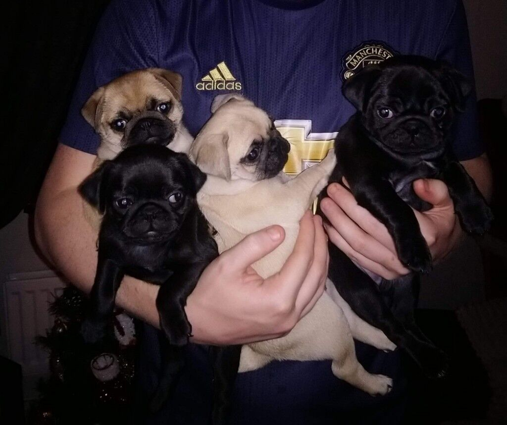 Kc Registered Pug Puppies For Sale In Hyde Manchester Gumtree