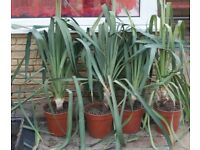 TROPICAL LOOKING HARDY ESTABLISHED TALL YUCCA PLANTS, WILL FLOWER, ONLY £10 EACH, CAN DELIVER