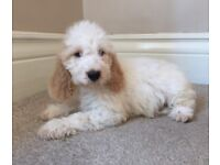 Beautiful cockapoo puppy for sale!