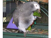 African Grey Parrot free to good home