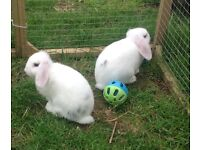 Two gorgeous baby Mini Lop rabbits. White and grey. 10 weeks.