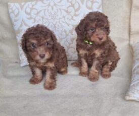 Adorable F1b Cavapoo puppies