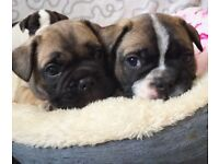 *REDUCED PRICE* Gorgeous French bulldog pups