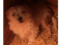 Beautiful teddy bear male puppy
