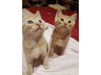 Ginger and bald kittens for sale free to loving home