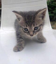 4 beautiful part British blue kittens