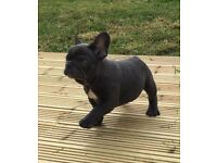 Kc registered solid blue french bulldog female puppy