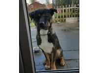 Japanese akita/boxer puppy & staffi x puppy need new home