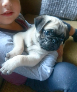 Pug puppies. Pure bred Adelaide CBD Adelaide City Preview