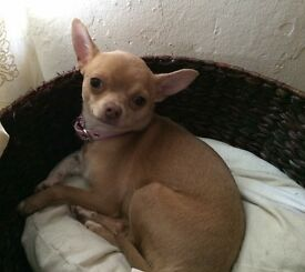 Beautiful Chihuahua Girl Needing A 5*Home