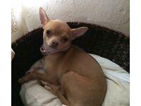 Beautiful Chihuahua Girl Needing A 5*Home