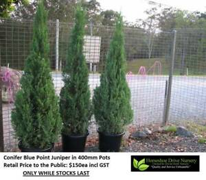 Conifer Blue Point Juniper Christmas Xmas Living Tree Mudgeeraba Gold Coast South Preview
