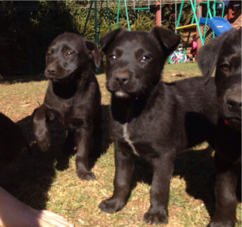 Gumtree Dogs For Sale Mildura