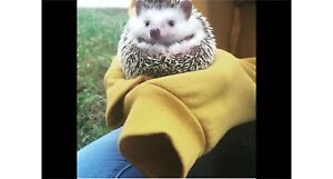 Hedgehog- PLEASE INQUIRE *still available*