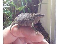 Rhampholeon acuminatus - Tanzanian Pygmy Chameleon 0:1 Fem.