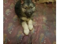 2 German Shepard x Siberian husky dog pups for sale