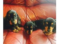 Miniature dachshund kc reg