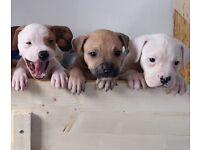 American Bulldog X Dogue De Bordeaux Puppies