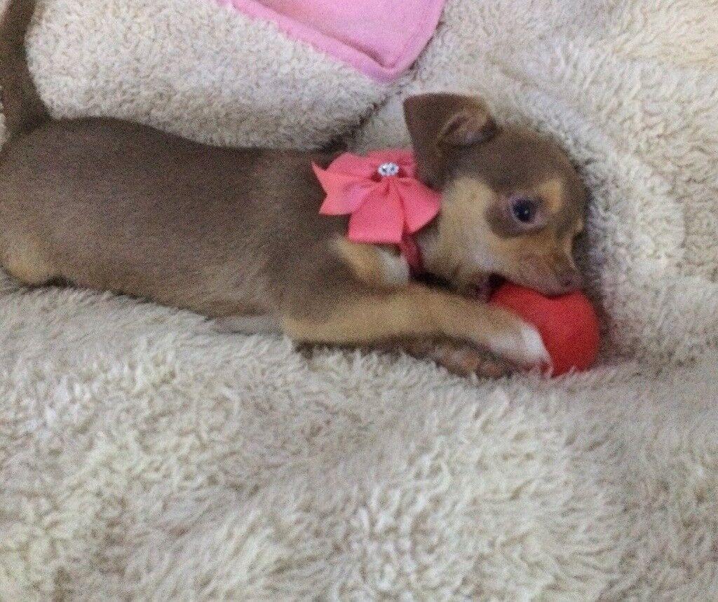 Chihuahua baby girl