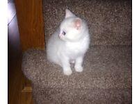 White Kitten For Sale