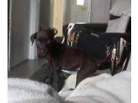 Patterdale pup