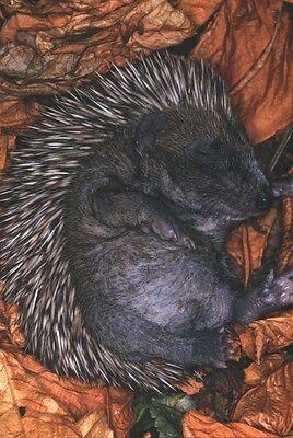 Ansichtskarte: Träum süß! Schlafendes winziges Igel - Baby - sleeping hedgehog