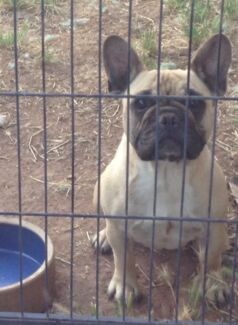 French bulldog fawn female on mains papers she is 2 years old