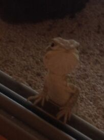 Baby Rankins Dragons for sale