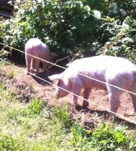 Lost two pigs on Messenger Road today