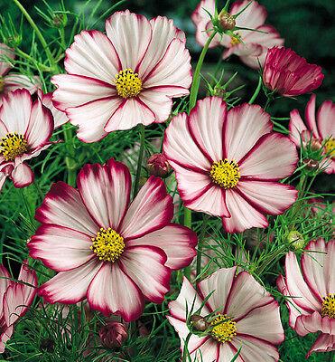 250+ BULK ANNUAL FLOWER SEEDS - COSMOS ...