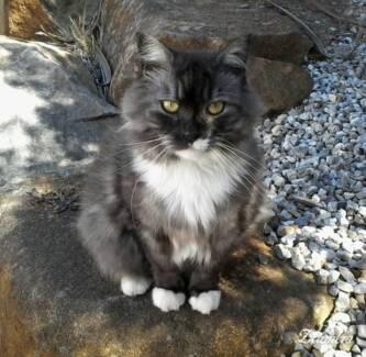 MISSING Loved Cat called HAMLET $500 reward