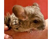 1 cute baby boy chinchilla