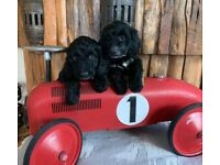 Cockerpoo puppies