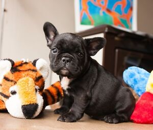 French Bulldog puppies Black Brindle Registered Purebred Sydney City Inner Sydney Preview