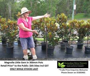 Magnolia Little Gem  Glossy Leaves White Flowers HS063 Mudgeeraba Gold Coast South Preview