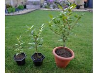 Young Bay Trees (Laurus Nobilis) Only a few left