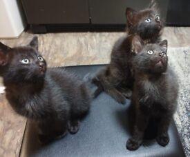 3 Gorgeous Kittens (2 boys, 1 girl)