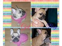 KC Reg French bulldog puppies 5*Generation Pedigree