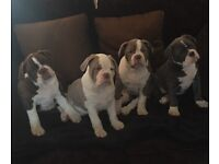 Old English Bulldog puppies triple carriers