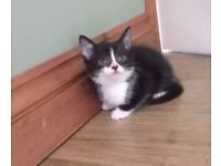 Gorgeous black and white kittens for sale