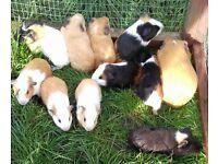 gorgous baby guinea pigs for sale