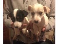Miniature Jack Russell Pups