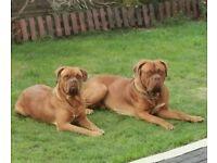 KC registered Dogue de Bordeaux puppies
