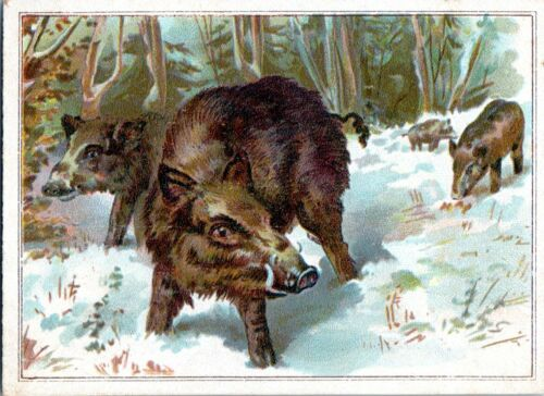 Lion Coffee Victorian Trade Card Wild Boar Warthog #3 Picture Card 1880s